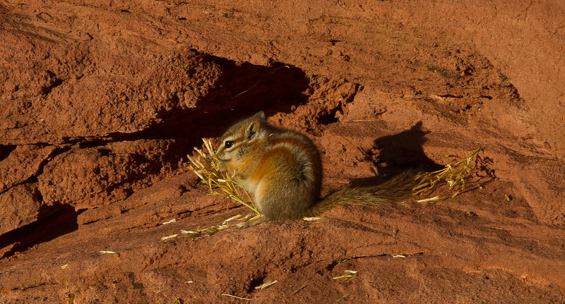 Mindful that it's mid-October, a chipmunk works on his winter stores at Canyonlands' Needle District.<br /> Photo © Cindy Clark
