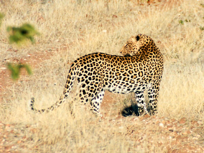 Leopard, Mashatu, Botswana