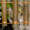 Pine Siskins and Lesser Goldfinch