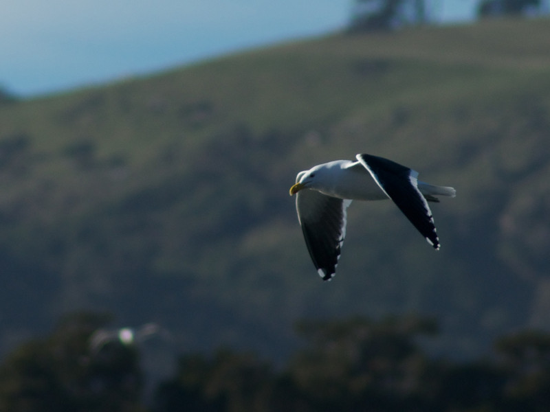 Gull nr Papatowai, Catlins