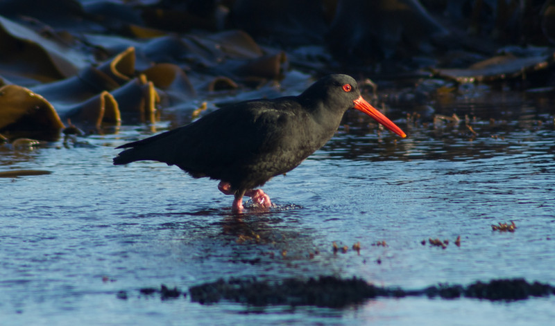 Oystercatcher, Catlins