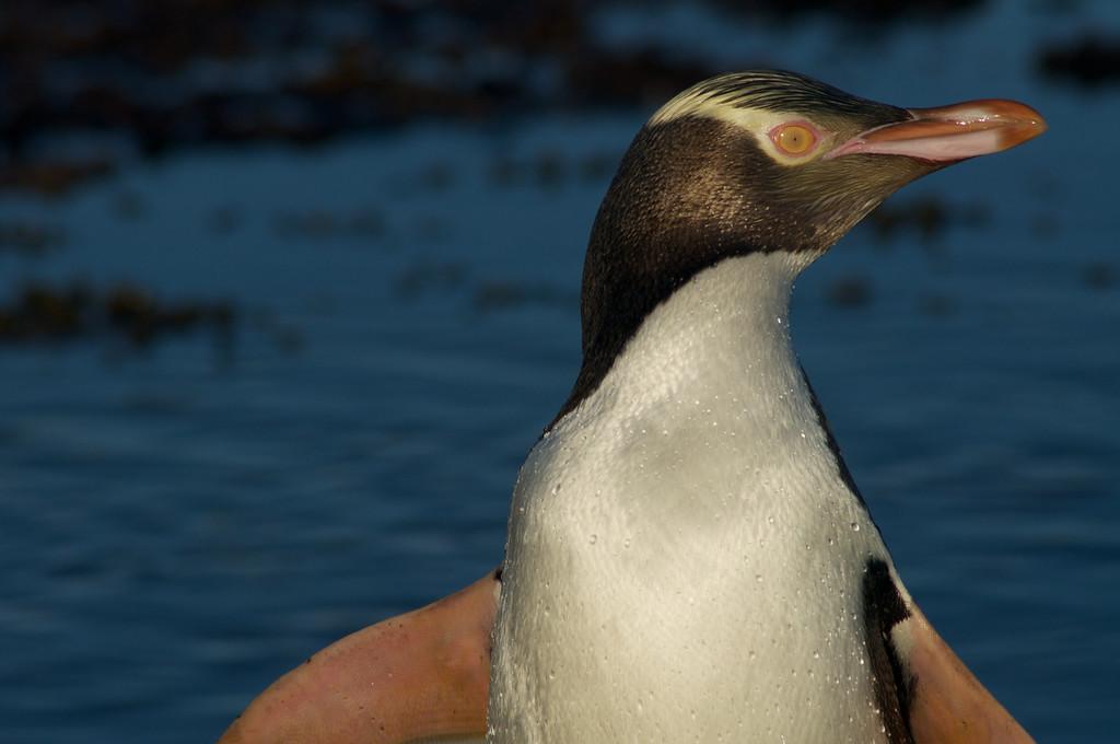 Yellow-Eyed penguin near Curio Bay, Catlins