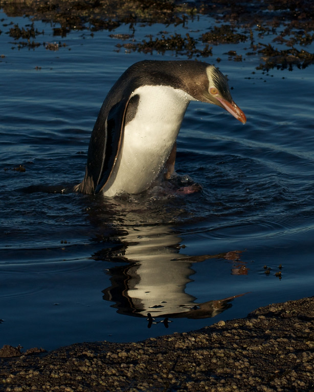 Yellow-Eyed penguins near Curio Bay, Catlins