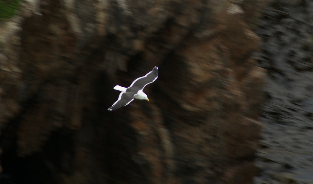 Gull at Nugget Point, Catlins
