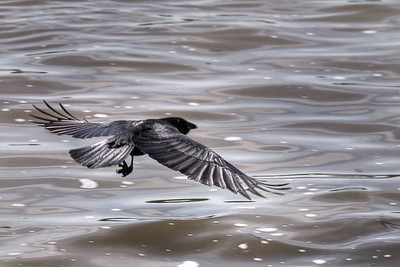 Crow over Water