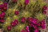 Intense blooms of Engleman's hedgehog cactus in Organ Pipe Nat'l Monument, Arizona.<br /> Photo © Carl Clark