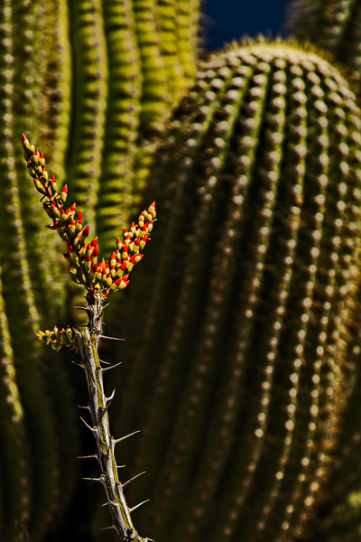 Ocotillo blooms against a backdrop of saguaro - yes, this is Arizona!<br /> Photo © Cindy Clark