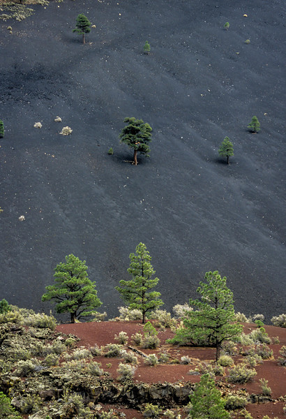 Red and black cinders provide just sufficient footing for foliage in Sunset Crater which was formed by a series of eruptions between about 1040 and 1100.<br /> Photo © Carl Clark
