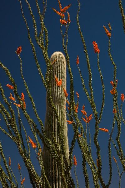 Scarlet ocotillo surround a saguaro cactus in Saguaro Nat'l Monument, Arizona.<br /> Photo © Carl Clark