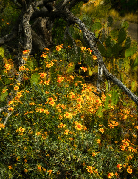 Parish goldeneyes, a type of aster, spill out onto the desert floor in Saguaro National Park, Arizona.<br /> Photo © Cindy Clark
