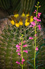 Pink lupine blooms against a backdrop of barrel cactus.<br /> Photo © Cindy Clark