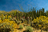 We were so fortunate to see lots of wildflowers blooming in Arizona!<br />  Photo © Cindy Clark