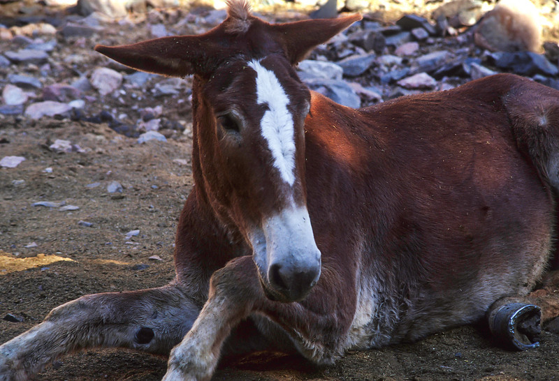 At the bottom of the Grand Canyon, a mule takes a well-earned roll in the dust.<br /> Photo © Cindy Clark