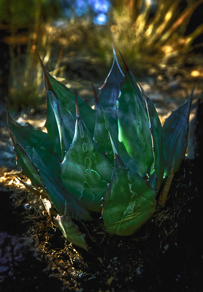 An agave plant enjoys a shady spot in Chiricahua National Monument, Arizona.<br /> Photo © Cindy Clark