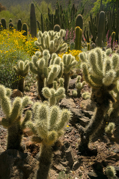 "Commonly known as ""teddy bear"" cactus, but you don't want to get near one of these guys!  <br /> Photo © Cindy Clark"
