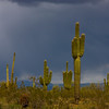 Storm Clouds Over Cactus DES109