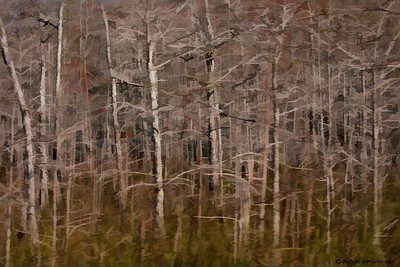 Dwarf  Cypress