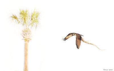 Osprey w/ Nesting Material