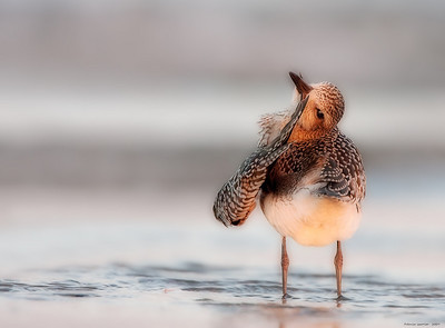 Preening Black-bellied Plover