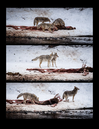 Yellowstone Coyotes
