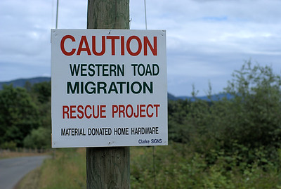 "Western Toad Rescue Project - Cowichan Station, BC, Canada Visit our blog ""A Cup of Toads"" for the story behind the photo."