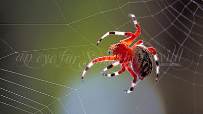Marbled Orb Weaver (Spider)