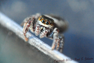 Jumping_Spider_01