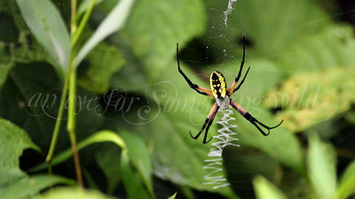 Black and Yellow Argiope (Spider)