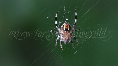 Redfemured Spotted Orb Weaver (Spider)