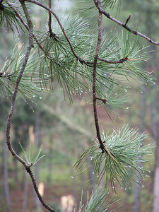 "Rain Drops on Ponderosa Pines, Ekalaka, Montana ""It is important to take time each week to touch nature, which is created by God's hands, not man's.""   Dr. Ruey-Lin Lin, Professor Emeritus of Sociology, Montana State University-Billings."