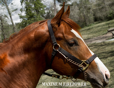 MAXIMUS AKA Maximum Firepower  is a two year old Stud and today is one of his training days. Photography By Lloyd R. Kenney III (C) 2013 All Rights Reserved.