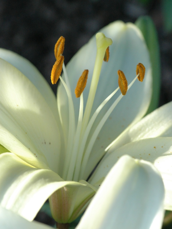 Closeup of the new lily