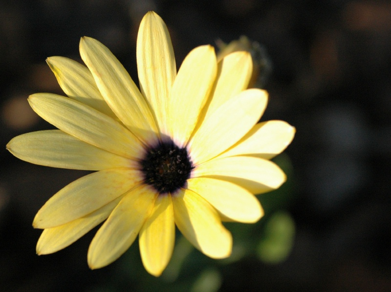 "An african daisy in the ""P"" bed"