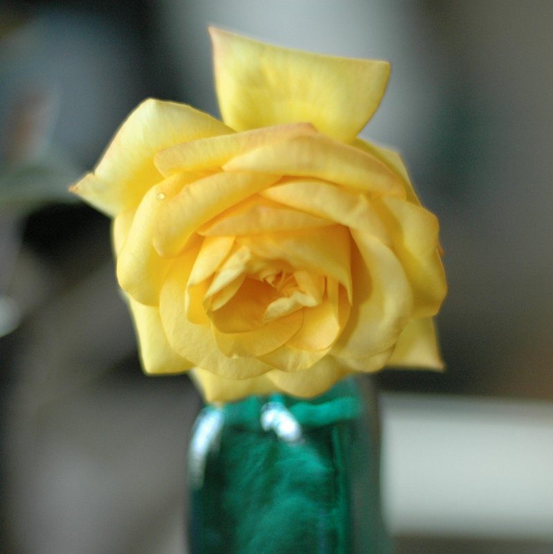 """Gold Medal"" - a bloom from the new rose bush"