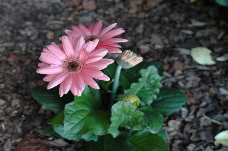 The pink gerbera daisy