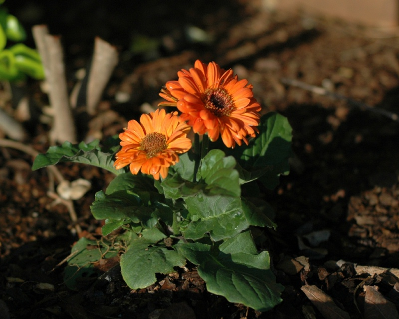 The orange gerbera daisy in morning sunlight