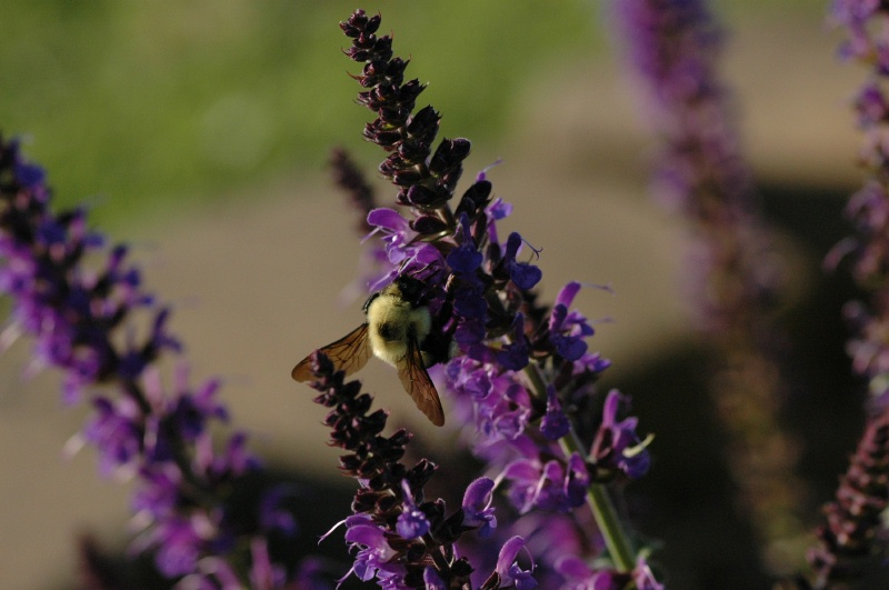 A bee happily working on the blue salvia