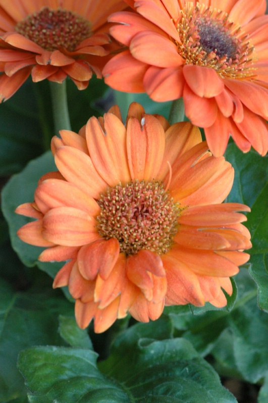 One of the 2 new gerbera daisies