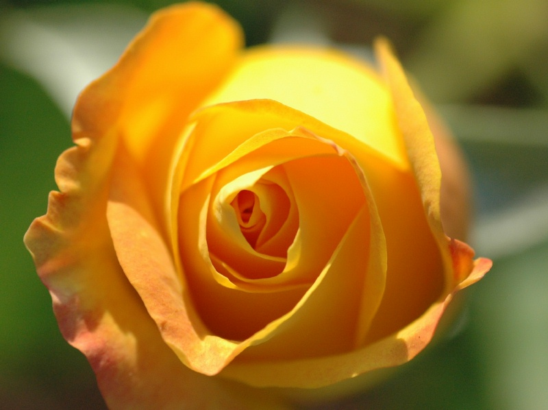 """A close up of the """"Gold Medal"""" bloom"""