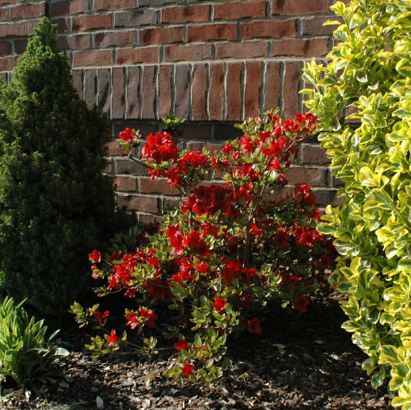 One of the red azaleas out front