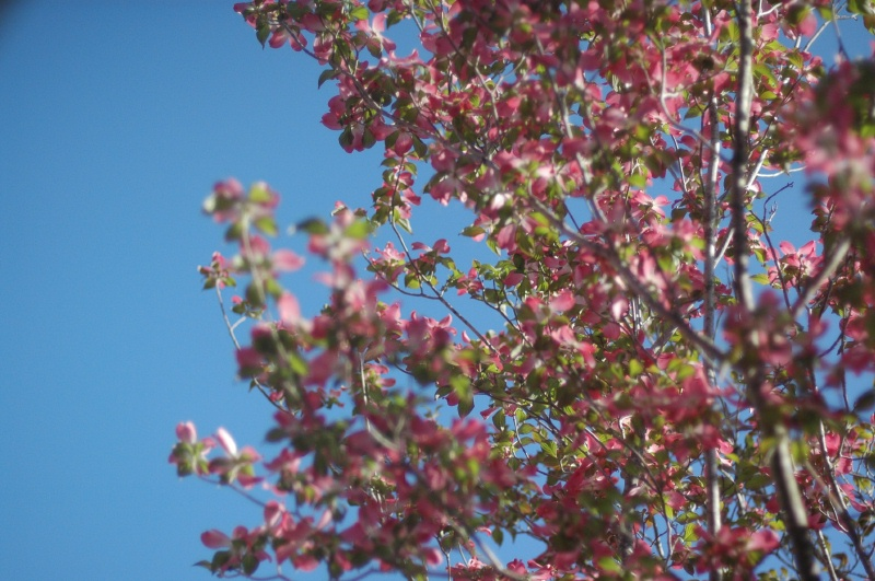 A pink dogwood at work