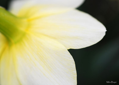 Different view of a daffodil.