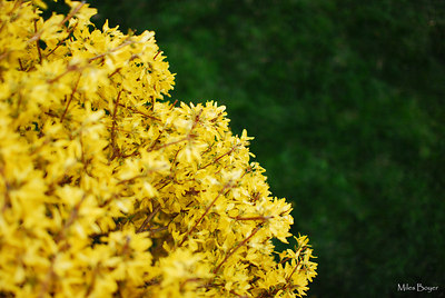 Forsythia and green grass viewed from above.