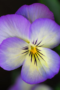 Another pansy close-up.