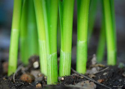 Daffodil stems.