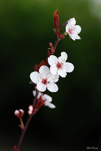 I think this is some type of plum tree blossom.