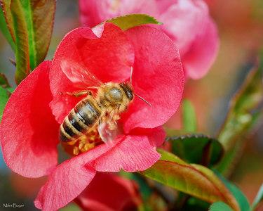 Honeybee on some type of red flowering shrub.  Any ideas?