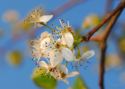 Bradford Pear Blossum.