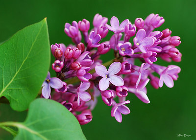 Lilac bush with green grass for the background.