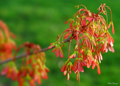 Bright red and green maple samaras.